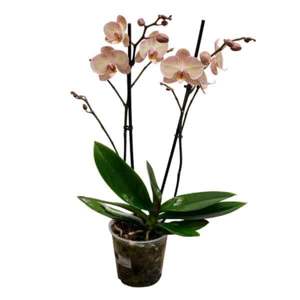 orchidee_orange_blumen_buchegger_800x800