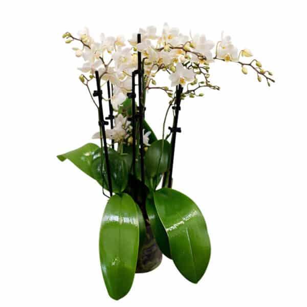 orchidee_weiss_mehrtriebig_blumen_buchegger_800x800
