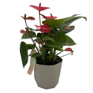 Blumen_Buchegger_Anthurium_800x800